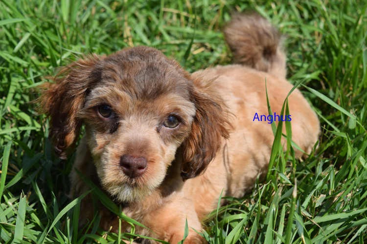 Available Yorkiepoo Puppies