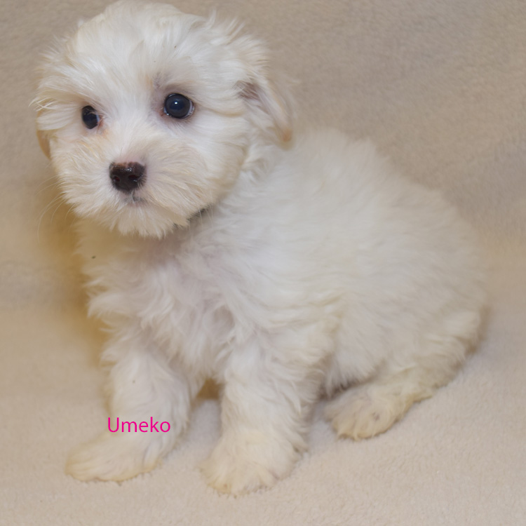 Available Morkie Puppies